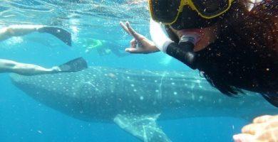 tiburon ballena isla mujeres 9
